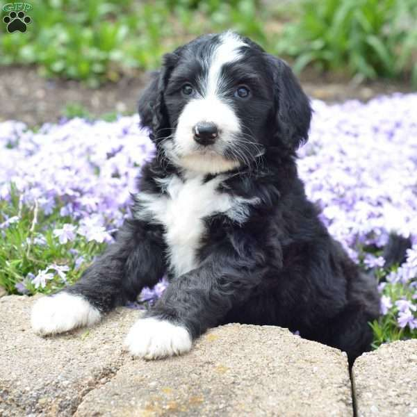 Megan Bernedoodle Puppy For Sale In Pennsylvania