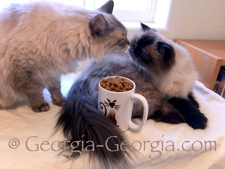 Caturday Cat Coffee Klatch, just add Kibble, Sunshine and our cute Siamesecat Mug @ Georgia-Georgia.com