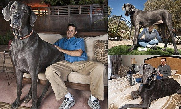 Giant George the world's tallest dog passes away at home