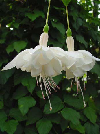 fuchsia 'Silver Anniversary'  Looks like a ballerina dancing.