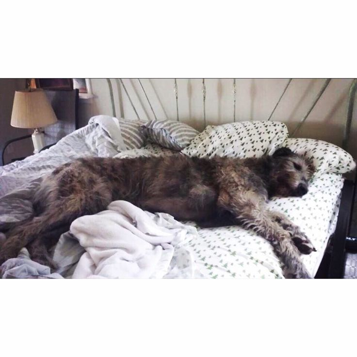 ohscottieknows:  My dog Dino on a king sized bed
