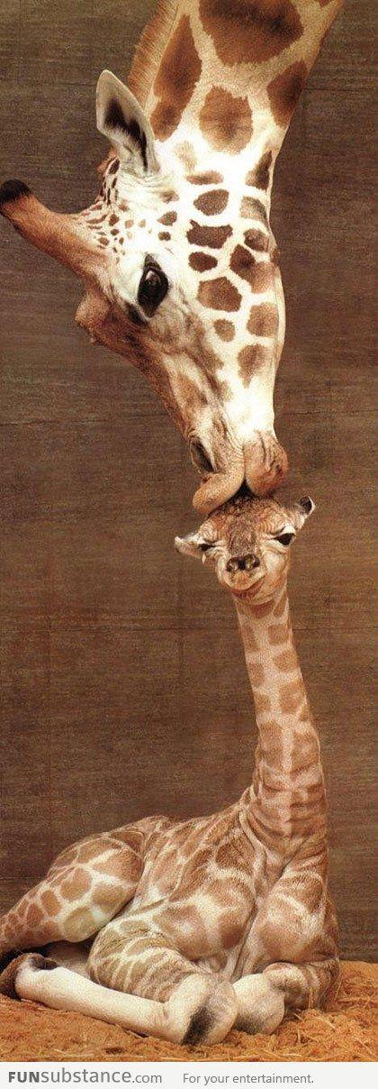 Giraffe kissing her baby........
