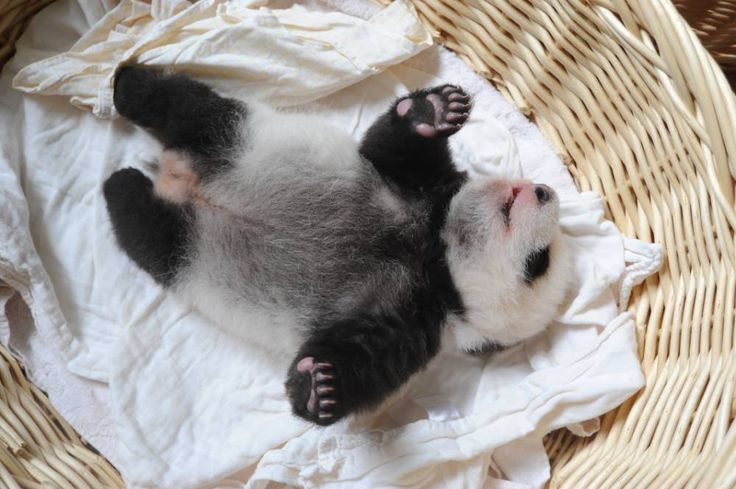 Take a minute out of your day to look at these ridiculously cute baby pandas  Read more: http://metro.co.uk/2015/08/25/take-a-minute-out-of-your-day-to-look-at-these-ridiculously-cute-baby-pandas-5359148/#ixzz3puYTSSEj
