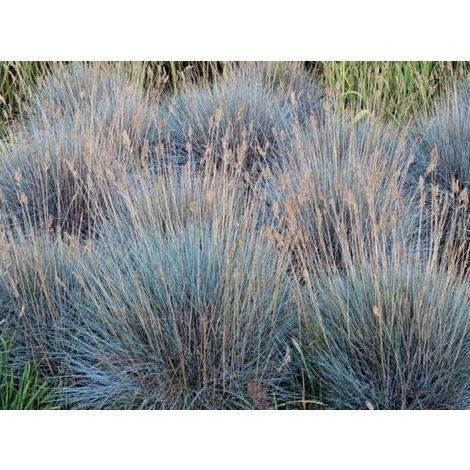 Blåsvingen, kantgräs vid buskkavalkaden
