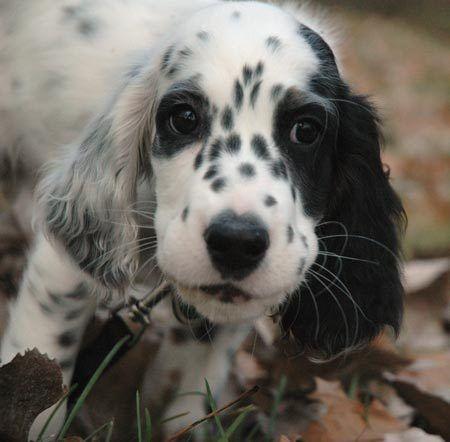 English Setter puppy.