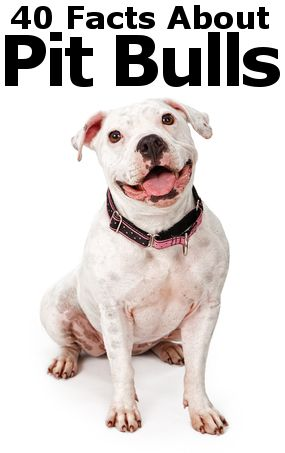 40 Terribly Interesting Facts About Pit Bulls | Pit Bull ...