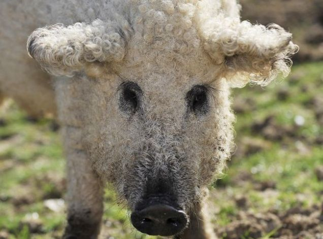 This wooly piggy is officially known as a Mangalitza and is native to Austria and Hungary.  CUTE, isn't she?