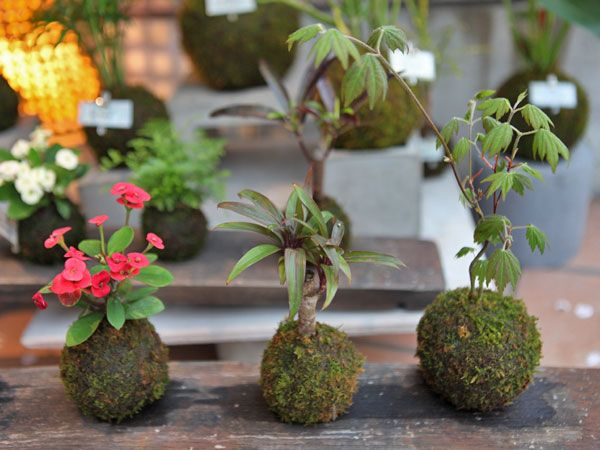 111 best images about kokedama on pinterest botanical for Typical japanese garden plants