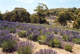 Yuulong Lavender Estate