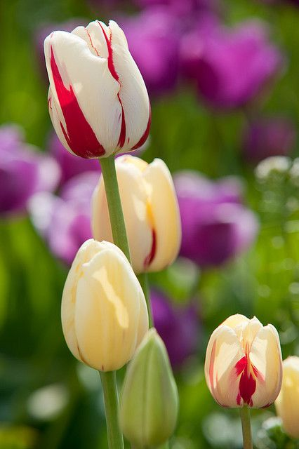 Tulips  #spring