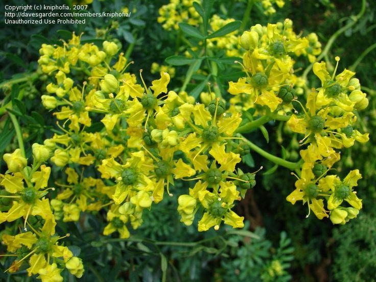 Common Rue, Garden Rue, Herb of Grace, Herbygrass (Ruta graveolens)