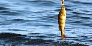 #Ahven- #Perch #Fishing