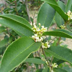 Sweet Olive, mmmmm, in Louisiana is where I first smelled this. In old Plantation gardens, and in spring and late fall, just walking down the street. The smell is so incredibly wonderful and beautiful and just....oh... I can not get enough of this smell, really! It's addictive!
