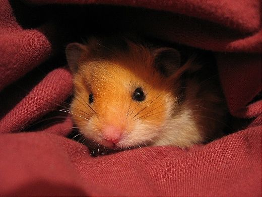 cozy in the covers hamster
