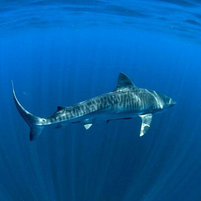 Tiger shark: what a stunner.