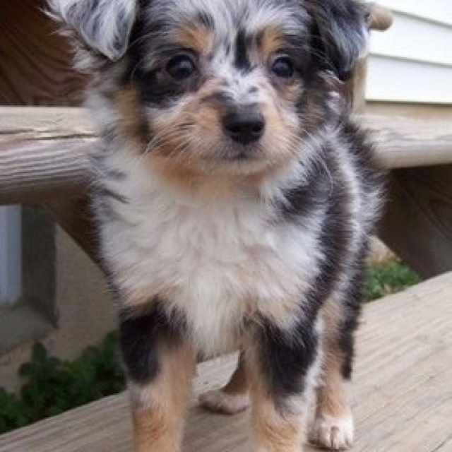 Teacup aussie, I want one!