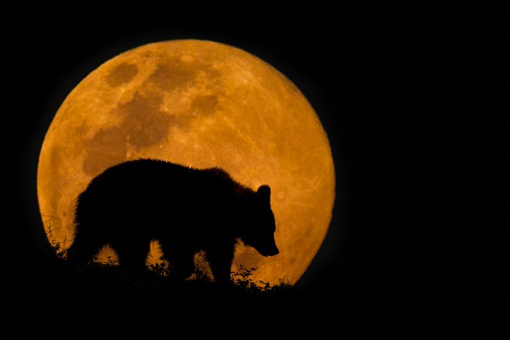 A Cantabrian Brown Bear silhouette captured in Cabarceno Nature Park in Cantabria, Spain. This is the latest of my composite image series with a rising full moon.Copyright Mario Moreno