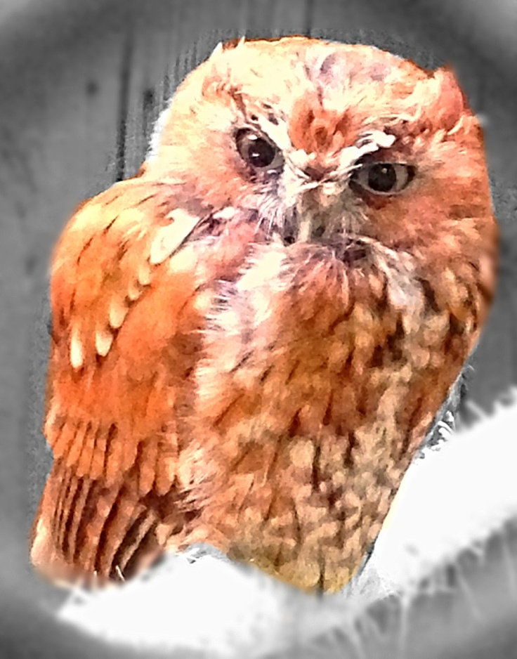 Cute screech owl at Bay's Mtn. TN | Friends With Feathers ...