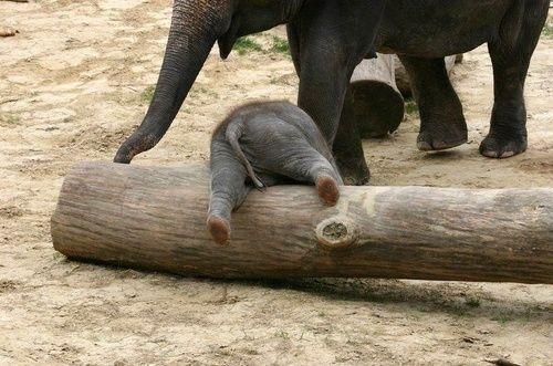 elephant by @rosanaantoli: Awww, Animal Baby, Baby Elephants, Logs, Elephant Butt, Creatures, Funny, Adorable, Things