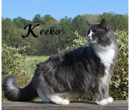 tuxedo Maine Coon faces Google Search Cats Pinterest