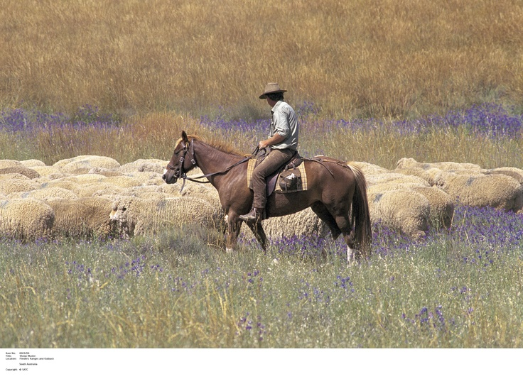 Farmer herding livestock in Clare Valley.      Image Source: SA Tourism Commission.