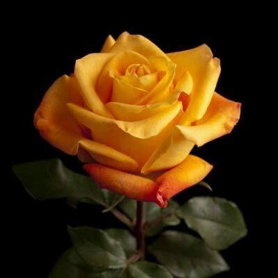 Sarı gül çiçek