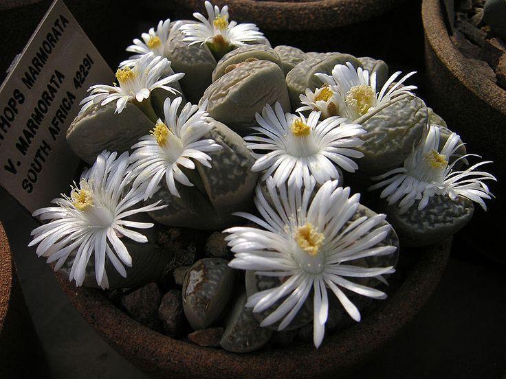 File:Lithops-marmorata-ssp.-marm.JPG