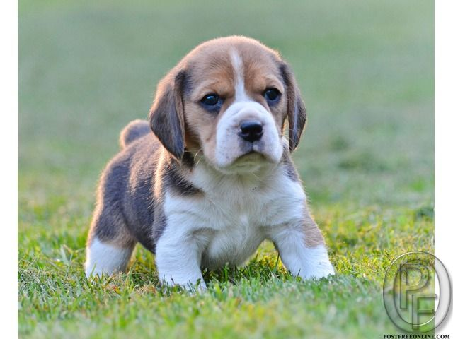 Want to sell my beagle dog at lesser price in Mumbai