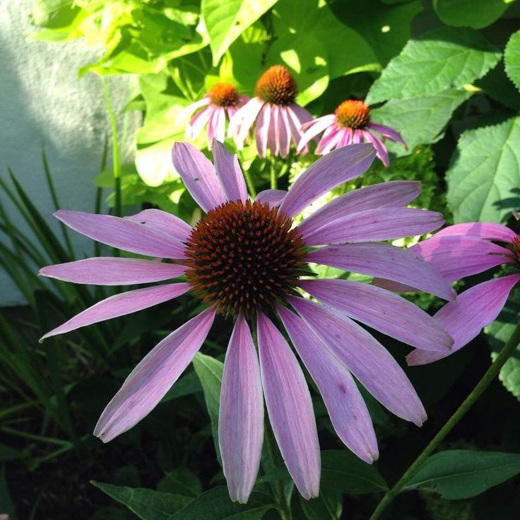 In our garden, coneflowers.
