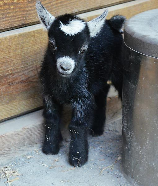 There's a new African pygmy goat kid on Baltimore's block, and boy, is it cute! The Maryland Zoo in Baltimore got a whole lot cuter with the arrival of Lana and Lois. According to zookeepers, Lana loves to nap behind her water  bowl, but when she grows up, she's going to be super active. Credit:   http://www.facebook.com/MarylandZoo