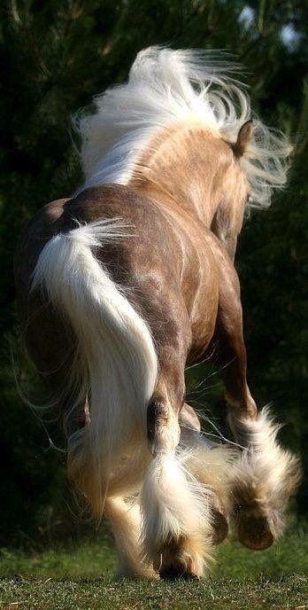 Beautiful Gypsy Vanner