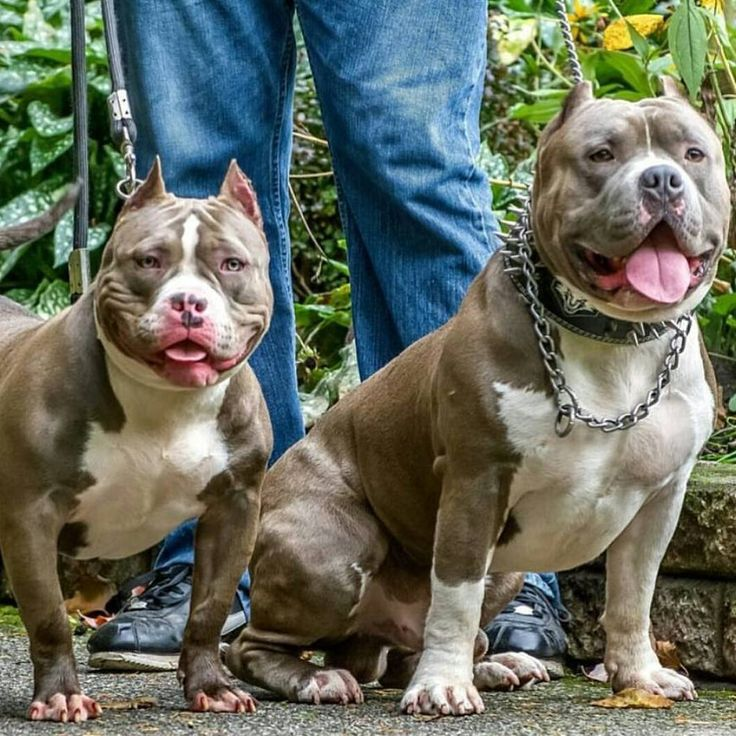 these american bully dogs