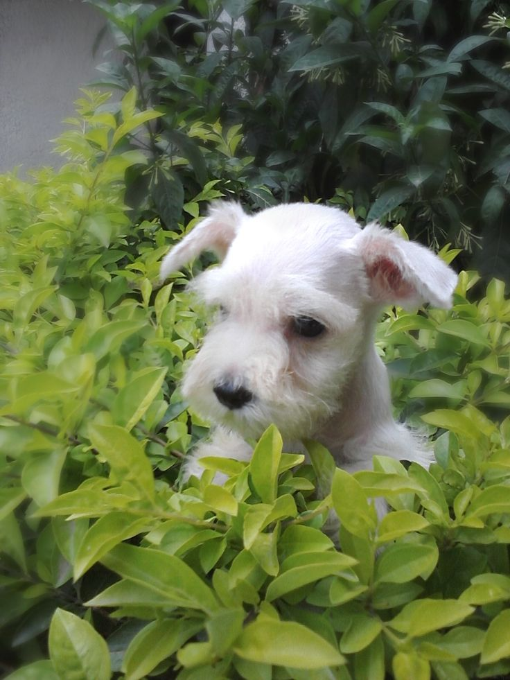 Cachorro del Club Schnauzer de Bucaramanga.