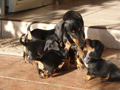 I dream of this!!! Only have one Dachshund right now, but that will change someday!!!