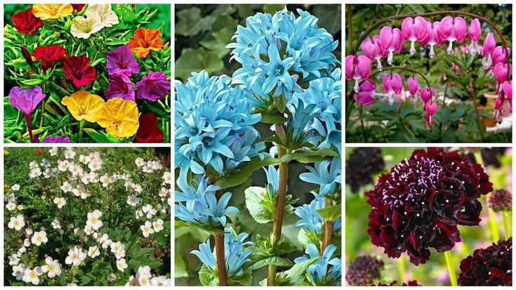 Plante perene cu cele mai frumoase flori. Alegere practica in orice gradina