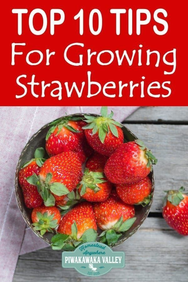 The Ultimate Guide To Growing Strawberries How To Grow Strawberries Anywhere Moder Growing Strawberries Growing Strawberries In Containers Strawberry Plants