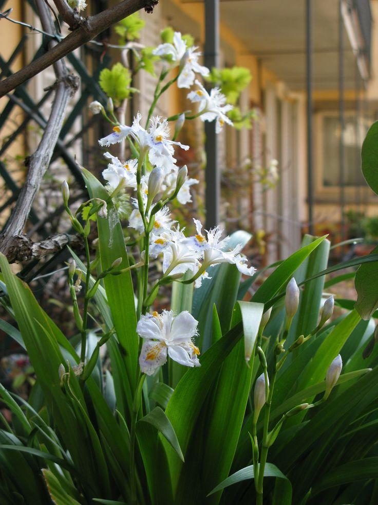 Iris japonica ...my favorite!