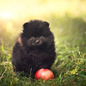 Elma köpekler için iyi bir gıdadır çünkü sağlıklı, düşük kalorili ve ucuzdur. Elma vitamin A, C ve diyet lifi içerir, dişlerini temizler ve nefesini tazeler.