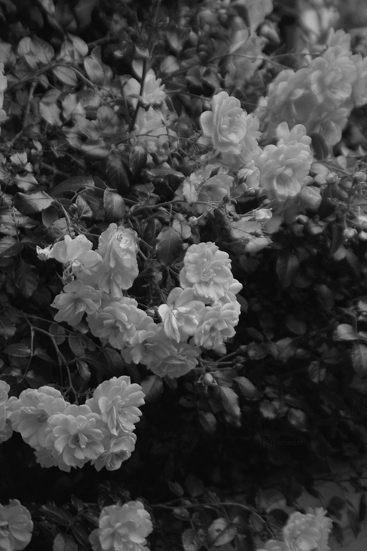 Black and White roses photography Norddorf, Amrum, Germany