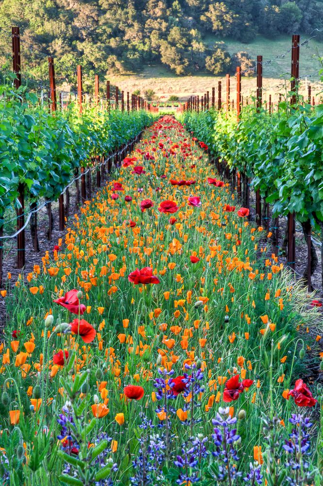 Flowers line the vineyard rows at Kunde Winery in Kenwood, California