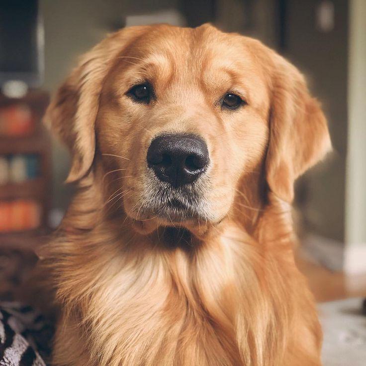 Jaxson Retriever Puppy Dogs Golden Retriever