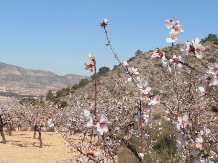 Pink fest! The almonds in blossom.. (February)