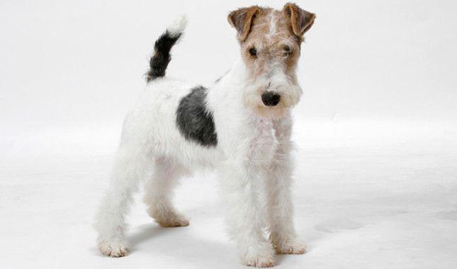 Wire Fox Terrier #Breed Information, #dog