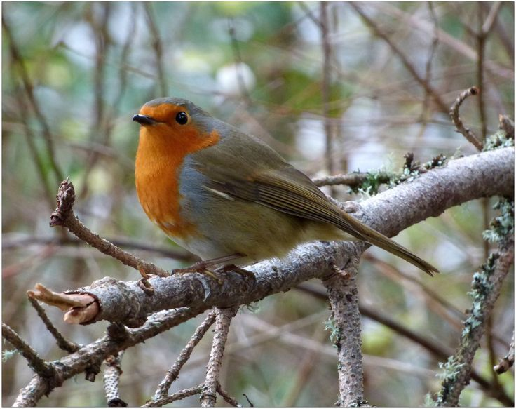 Robin in Dunkeld by eric niven on 500px