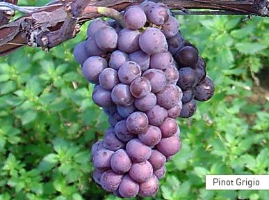 Perlage Wine.. le uve di Pinot Grigio