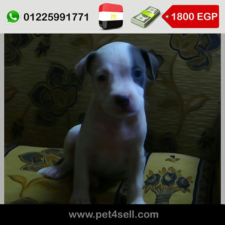 Egypt, Cairo  American pitbull for sale 🐶 3 months For more information 01225991771 #pet4sell