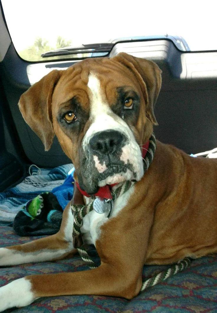 Boxer dog for Adoption in Phoenix, AZ. ADN590269 on