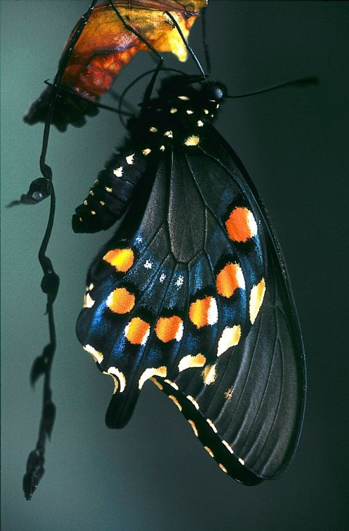 Emergent Pipevine Swallowtail  by Glenn Perrigo