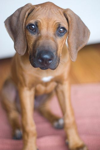 Must see Rhodesian Ridgeback Black Adorable Dog - 20e192c263d4f9997ba917063477e9b7--cute-dogs-and-cats-hound-dog  Pictures_714187  .jpg