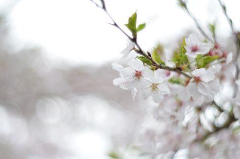 「桜の季節に父を想う」 父は花には縁遠い人だった。食卓に切り花を飾るのを嫌った。庭に色んな種類の花を作るのも嫌い、母に数を増やすなと文句を言っていたことがある。 そのくせ木に咲く花は好み、梅の木は大事に育てていた。父の手入れのお陰で実家の梅の木は立派な枝振りをしている。何故か同じ木に白とピンクの花が咲き、それが父の自慢だった。 今思うと花が嫌いだったのではなく、儚い命の花が嫌いだったのではないだろう...